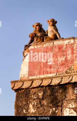 Rhesus Macaque monkeys along the road to Surya Mandir (Temple Of The Sun God), Jaipur. - Stock Photo