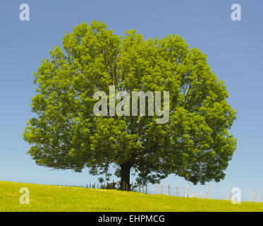 single old big ash tree at spring - Stock Photo