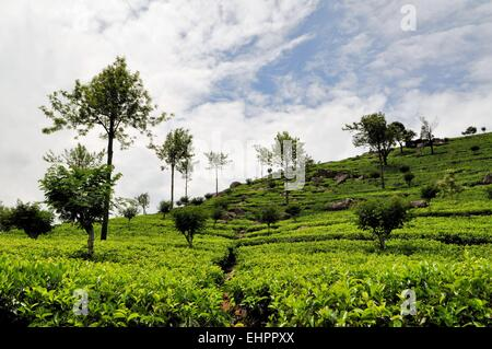 Tea fields in hill country, Sri Lanka - Stock Photo