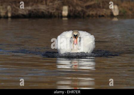 Mute Swan swimming head on - Stock Photo