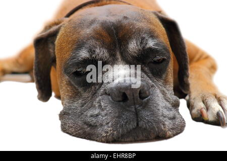 cute face of sleeping dog ( boxer breed ) - Stock Photo
