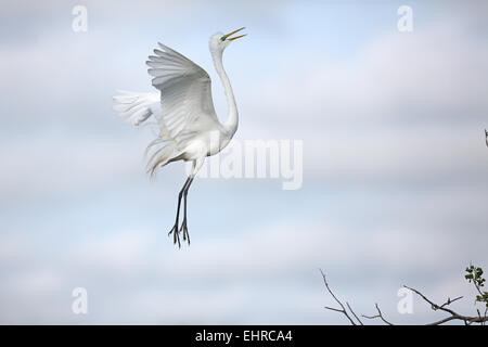 Great Egret, Ardea alba, displaying close to nest - Stock Photo