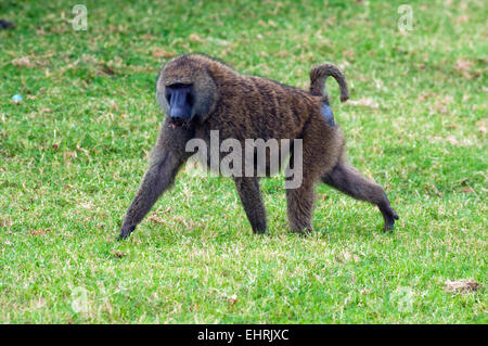 Baboon at Lake Nakuru National Park, Great Rift Valley, Kenya, Africa. - Stock Photo