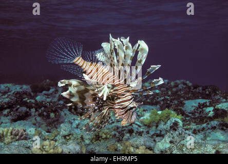 Poisonous Red Lionfish (Pterois volitans) hunts at twilight on coral reef - Red Sea. - Stock Photo
