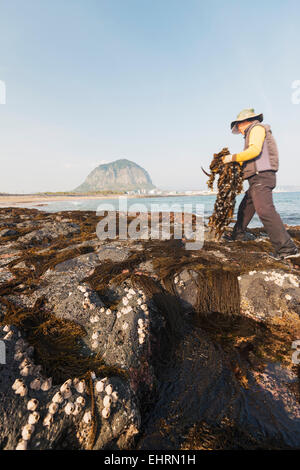 Asia, Republic of Korea, South Korea, Jeju island, Mt Sanbangsan, man collecting seashells and seaweed - Stock Photo
