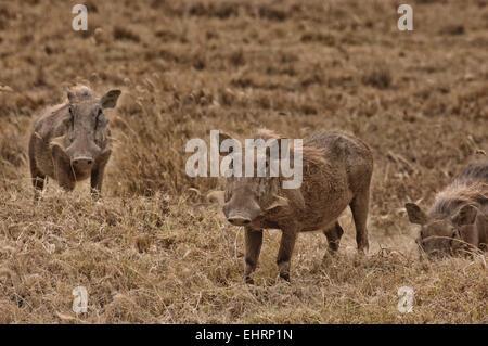 Warthog at Lake Nakuru National Park, Great Rift Valley, Kenya, Africa. - Stock Photo