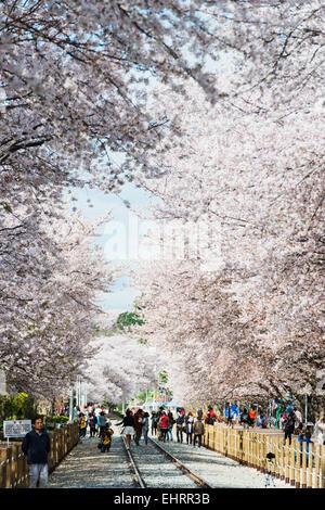Asia, Republic of Korea, South Korea, Jinhei, spring cherry blossom festival - Stock Photo