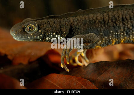 Great Crested Newt or Northern Crested Newt, male (Triturus cristatus). Lake Selent (Selenter See), Germany | Die - Stock Photo