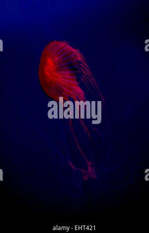 Jellyfish isolated against blue background - Stock Photo