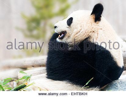 Big Panda bear resting on rock and eating bamboo during daytime - Stock Photo