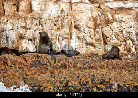 Colony of brown fur seal (Arctocephalus pusillus) in front of Plettenberg Bay, Western Cape, South Africa - Stock Photo