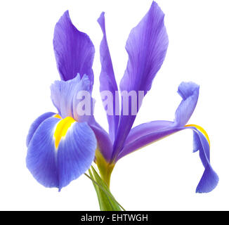 dark purple iris flower  isolated on white background - Stock Photo