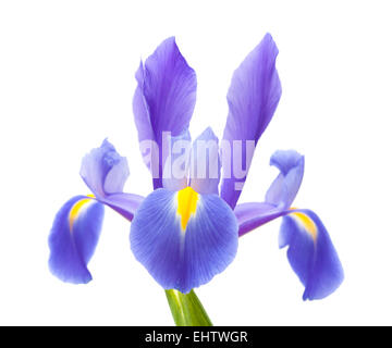 dark purple iris open flowers isolated on white background - Stock Photo