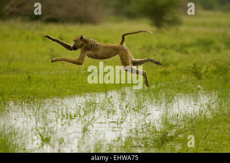 Female Yellow baboon Papio cynocephalus leaping over a puddle. - Stock Photo