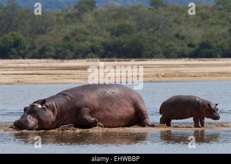 Common hippopotamus (Hippopotamus amphibius) mother with young resting on a sandbank in the Rufiji River. - Stock Photo