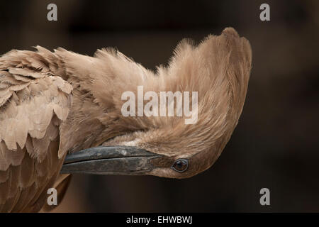 Hamerkop (Scopus umbretta) Preening. - Stock Photo