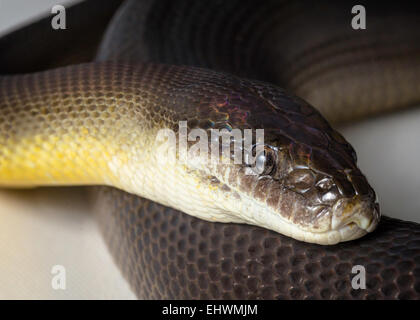 a close up of a water python - Stock Photo
