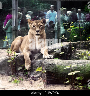 Lion and people, Duisburg Zoo, Germany. - Stock Photo