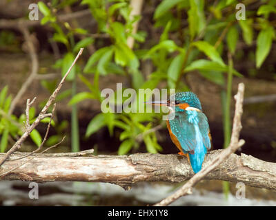 Kingfisher (Alcedo atthis) at a river in Ireland. - Stock Photo
