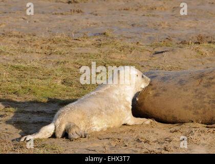 Atlantic Grey Seal Pup - Halichoerus grypus Feeding off mother - Stock Photo