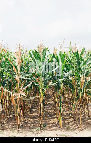 Bulgaria, Razgrad, dried out corn field - Stock Photo