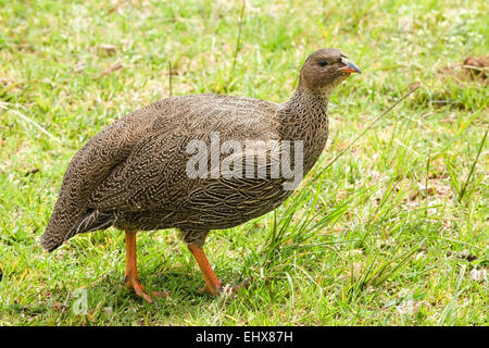Francolin (Francolinus capensis), Kirstenbosch National Botanical Garden, Cape Town, South Africa - Stock Photo
