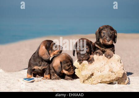 Wire-haired Dachshund Four puppies beach Germany - Stock Photo