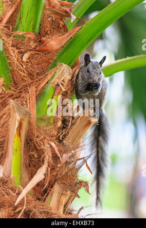 Ecuador, Guayaquil, Guayaquil squirrel on palm tree - Stock Photo
