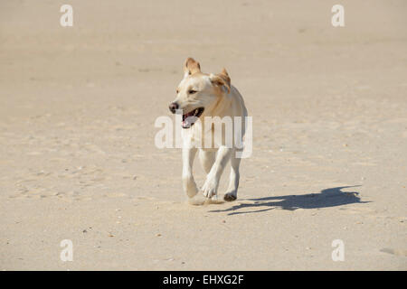 Happy yellow Labrador Retriever running at the beach - Stock Photo