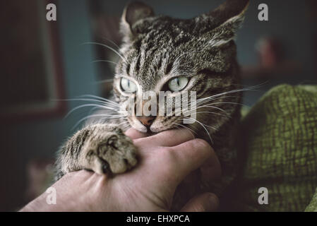 Portrait of tabby cat biting and scratching owner's hand - Stock Photo