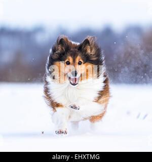 Germany, Shetland Sheepdog running in snow - Stock Photo