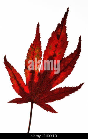 Japanese maple / Smooth Japanese maple (Acer palmatum) close up of leaf in autumn colours, native to Japan and Korea - Stock Photo