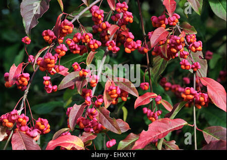 European spindle / common spindle (Euonymus europaeus) in autumn showing capsular fruit with lobes split open to - Stock Photo
