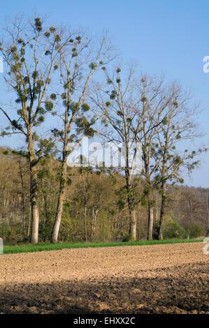 European mistletoe / common mistletoe (Viscum album), hemiparasite growing on poplars bordering field in spring - Stock Photo