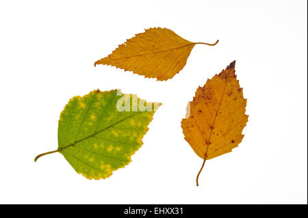 Paper birch / American white birch / Canoe birch (Betula papyrifera) leaves in autumn colours, native to North America - Stock Photo