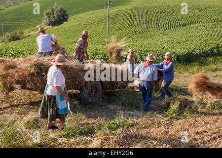 Reaping wheat crop using old fashioned 1950s hand methods and equipment. - Stock Photo