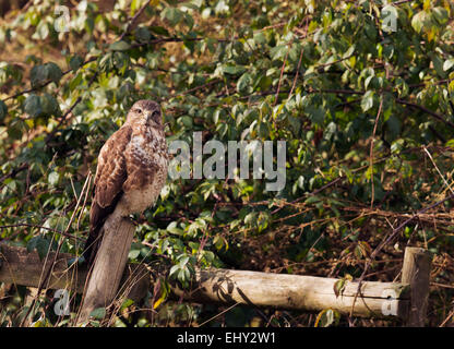 Wild Common Buzzard, Buteo buteo perched on fence post on edge of woodland - Stock Photo