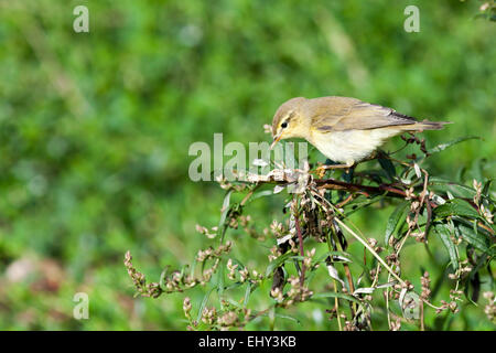 Leaf warbler (Willow Warbler?) (Phylloscopus sp). Timirjazevsky park, Moscow. Russia. - Stock Photo