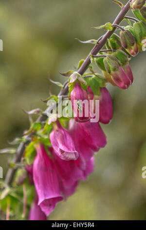 Close-up of Digitalis purpurea or purple foxglove, well-known as the original source of the heart medicine digoxin - Stock Photo