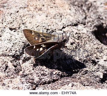 White-barred Skipper Atrytonopsisa pittacus Butterfly Arizona - Stock Photo