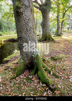 Broadleaf  Oak Trees along a stream in The New Forest - Stock Photo