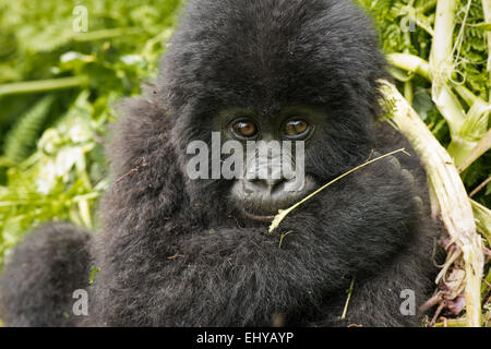 Baby mountain gorilla, Sabyinyo Group, Rwanda - Stock Photo