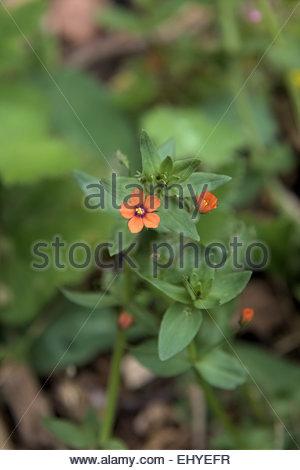 Common Garden Weeds - Scarlet pimpernel - Anagallis arvensis Stock ...
