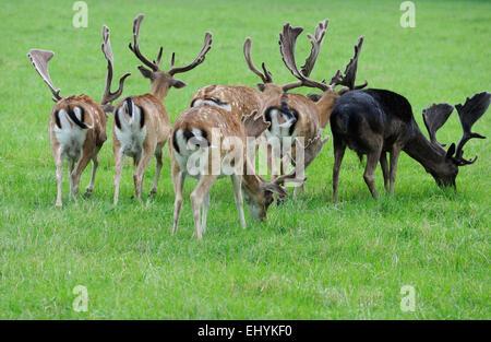 Damwild, fallow buck, deer, fallow bucks, deer, cloven-hoofed animal, consecrated bearer, Cervidae, Dama Dama, animals, - Stock Photo
