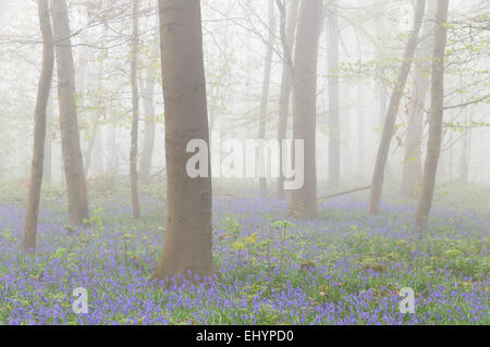 Foggy deciduous forest with Atlantic bluebells (Hyacinthoides non-scripta), Germany - Stock Photo