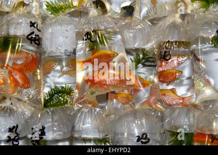 Gold fish for sale in bags, Goldfish Market, Kowloon, Hong Kong, China - Stock Photo