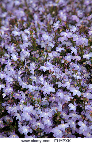 Lobelia Erinus Techno Blue Stock Photo 283801672 Alamy