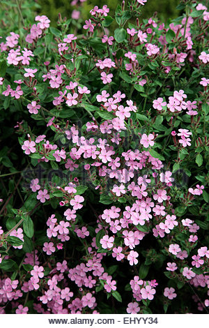 Saponaria ocymoides - Tumbling Ted - Stock Photo