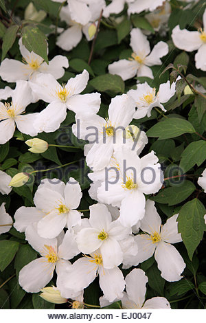 clematis montana var grandiflora agm stock photo royalty. Black Bedroom Furniture Sets. Home Design Ideas