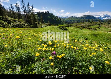 Bödmeren, Switzerland, Europe, canton Schwyz, meadow, mountain pasture, flower meadow, globeflower, globe crowfoot, - Stock Photo